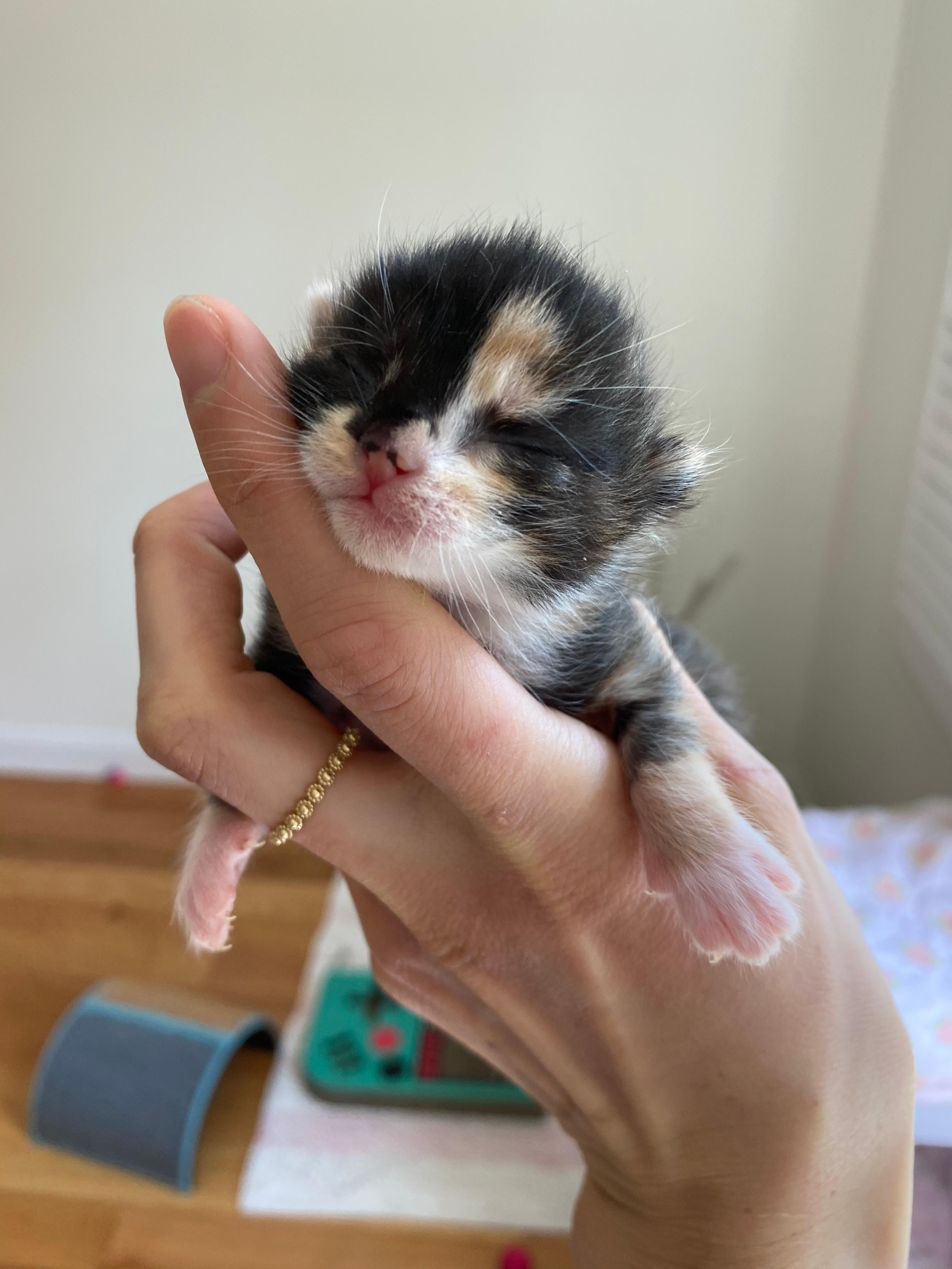 kitten being cradled in a person's hand